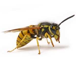 How to get rid of Yellow Jackets, Wasps, and Hornets | How ...